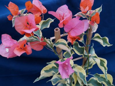 Bougainvillea Flowers Online Orange Ice (2)