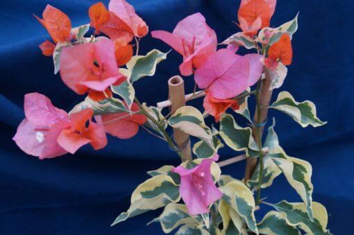 Bougainvillea Flowers Online Orange Ice (2)