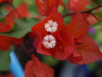 Bougainvillea Flowers Online Pedro (3)