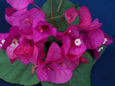 Bougainvillea Flowers Online Phillips