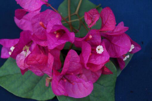 Bougainvillea Flowers Online Phillips