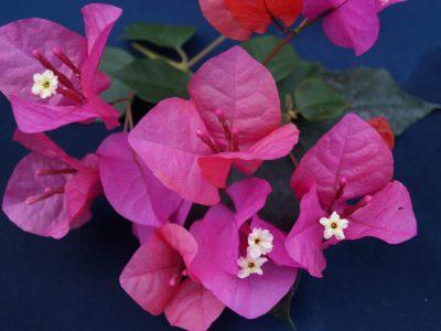 Bougainvillea Flowers Online Pink Robe