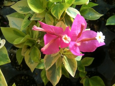 Bougainvillea Flowers Online Pixie Queen