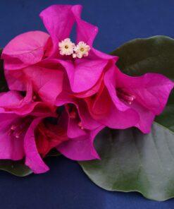 Bougainvillea Flowers Online Poultons Special