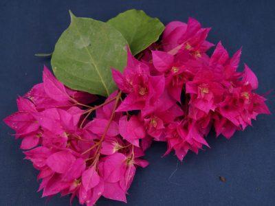 Bougainvillea Flowers Online Princess Mahara