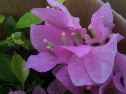 Bougainvillea Flowers Online Queen Violet
