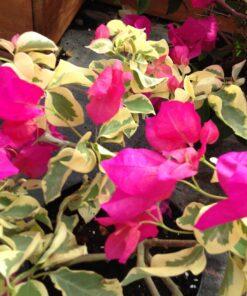 Bougainvillea Flowers Online Raspberry Ice (2)