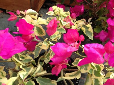 Bougainvillea Flowers Online Raspberry Ice (2)