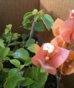 Bougainvillea Flowers Online Rosenka