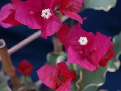 Bougainvillea Flowers Online Rubra