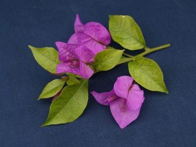 Bougainvillea Flowers Online Sen Pattaya