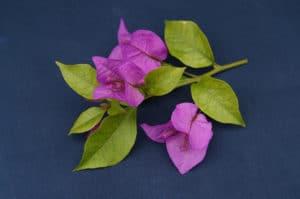 Bougainvillea Flowers Online Sen Pattaya (2)