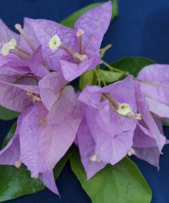 Bougainvillea Flowers Online Singapore Pink