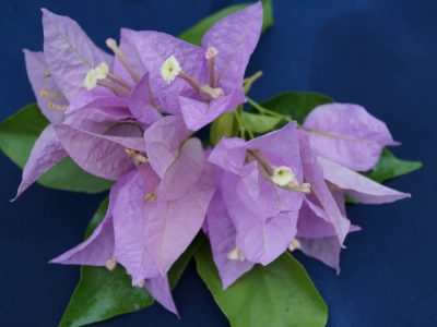 Bougainvillea Flowers Online Singapore Pink