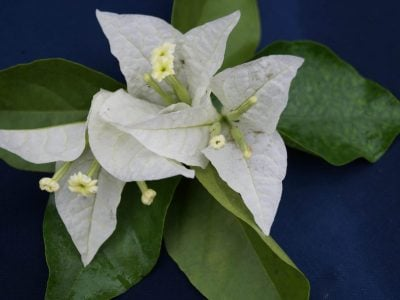 Bougainvillea Flowers Online Singapore White