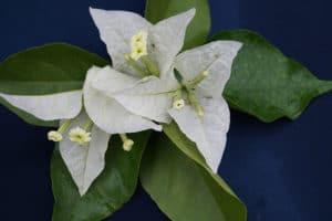 Bougainvillea Flowers Online Singapore White (2)