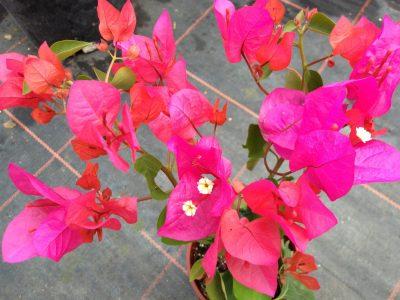 Bougainvillea Flowers Online Tango