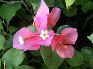 Bougainvillea Flowers Online Tropical Bouque