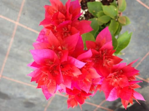 Bougainvillea Flowers Online Campbell