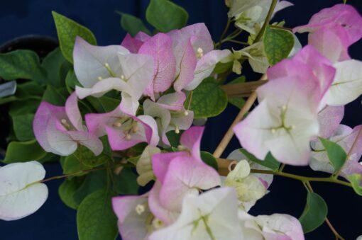 Bougainvillea Flowers Online