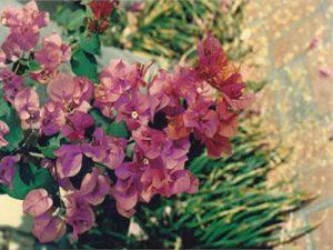 Afterglow Bougainvillea Flowers