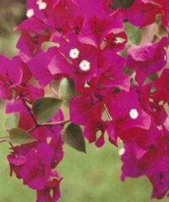 Barbara-Karst Bougainvillea Flowers