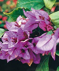 Brasilensis Bougainvillea Flowers