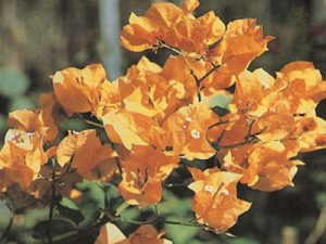 California-Gold Bougainvillea Flowers