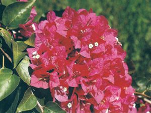 Crimson-Red Bougainvillea Flowers