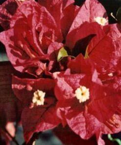 Don-Fernando Bougainvillea Flowers