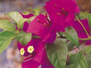 Elizabeth-Angus Bougainvillea Flowers