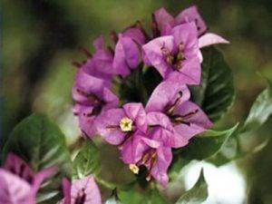 Formosa Bougainvillea Flowers