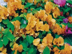 Golden-Glow Bougainvillea flowers