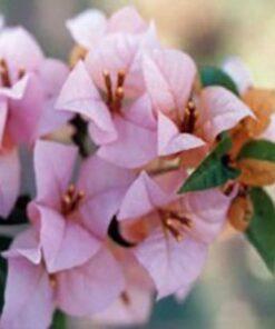 Hugh-Evans Bougainvillea Flowers