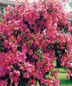 James-Walker Bougainvillea Flowers