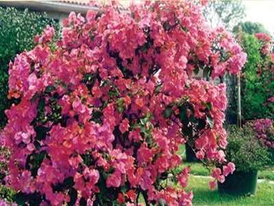 James-Walker Bougainvillea Flowers