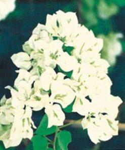 Java-White Bougainvillea Flowers