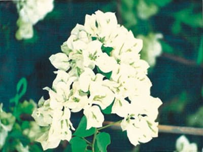 Java-White Bougainvillea Flowers