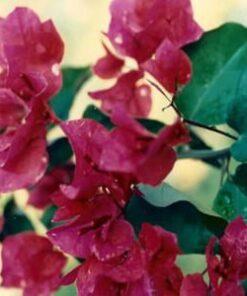 Juanita-Hatten Bougainvillea Flowers