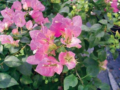 Jubilee Bougainvillea Flowers