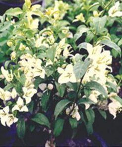 Key-West-Alba Bougainvillea Flowers