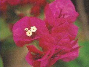 La-Joya Bougainvillea Flowers