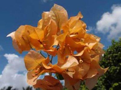 Marilyn-Hatten Bougainvillea flowers