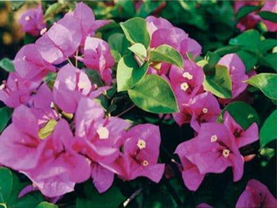 Maureen-Hatten Bougainvillea Flowers