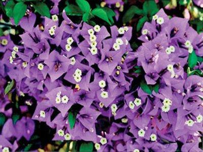 New-River Bougainvillea Flowers