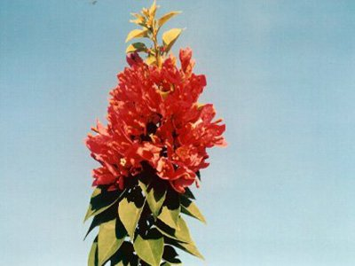 Pink-Pixie Bougainvillea Flowers