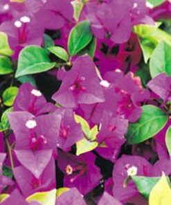 Queen-Violet Bougainvillea Flowers