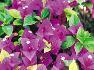 Queen-Violet Bougainvillea Flowers