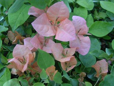 Rosa-Preciosa Bougainvillea Flowers