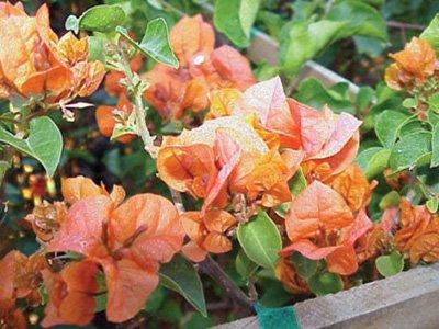 Rosenka Bougainvillea Flowers